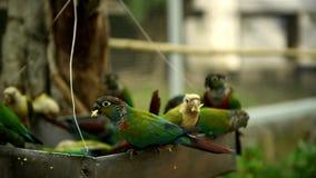 Zielone electus papugi bez dźwięka zbiory