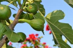 Zielone fig owoc Fotografia Royalty Free