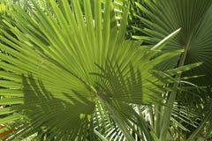 zielone fronds tropikalną palmową roślinności Zdjęcie Stock