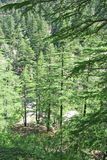 zielone gangotri leśną indu bujny sosna himalajska obrazy royalty free