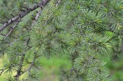 Zielone igły cedr w ogródzie botanicznym Obrazy Stock