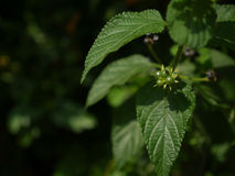 Zielone jagody Zdjęcie Stock