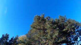 Zielone jodły, las z niebieskim niebem wiatr szasta gałąź drzewa zbiory wideo