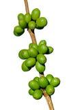 Zielone kawowe fasole zdjęcie royalty free