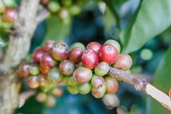 Zielone kawowe fasole r na gałąź surowa kawowa fasola na kawowego drzewa plantaci Zbliżenie świeża surowa kawowa fasola na drzewi Zdjęcie Royalty Free