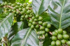 Zielone kawowe fasole r na gałąź surowa kawowa fasola na kawowego drzewa plantaci Zbliżenie świeża surowa kawowa fasola na drzewi Obraz Stock