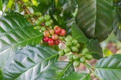 Zielone kawowe fasole r na gałąź surowa kawowa fasola na kawowego drzewa plantaci Zbliżenie świeża surowa kawowa fasola na drzewi Obraz Royalty Free