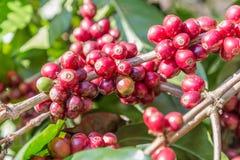 Zielone kawowe fasole r na gałąź surowa kawowa fasola na kawowego drzewa plantaci Zbliżenie świeża surowa kawowa fasola na drzewi Fotografia Stock