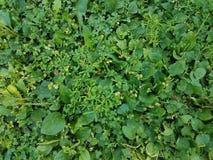 Zielone koniczyny i świrzepy w gazonie Zdjęcia Stock