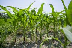 Zielone kukurydzy uprawy rośliny, Manikgonj, Bangladesz obrazy stock