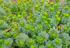 Zielone kwiatonośne rośliny Zdjęcie Royalty Free