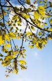 Zielone kwitnienie gałąź dębowy drzewo fotografia royalty free