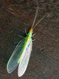 zielone lacewings Obrazy Stock