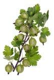 Zielone lasowe jagody Obraz Royalty Free