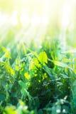 Zielone lato trawy z pogodnymi promieniami Zdjęcia Stock