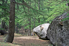 zielone leśną bujny sosna himalajska dżungli obrazy stock