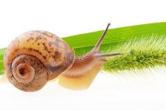 zielone liści ślimak Zdjęcia Stock