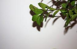 zielone liści białe tło fotografia stock