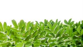 zielone liści białe tło zdjęcia royalty free