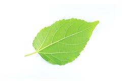 zielone liści białe tło Obrazy Royalty Free