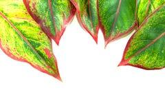 zielone liści białe tło Obrazy Stock