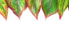 zielone liści białe tło fotografia royalty free
