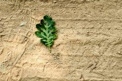 zielone liści dąb Zdjęcie Stock