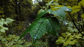 zielone liści krople wody fotografia stock