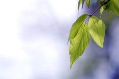zielone liści ogniska płytki Obrazy Royalty Free