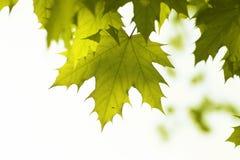 zielone liści ogniska płytki Zdjęcie Royalty Free