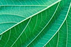 zielone liści szczególne Obraz Royalty Free