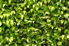 zielone liści tło Fotografia Stock