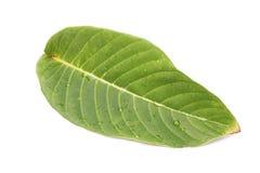zielone liści tło białe izolacji Fotografia Stock