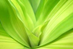 zielone liści tło Dracaena zbliżenie obraz stock