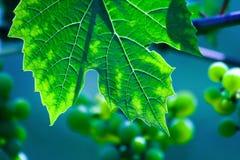 zielone liści winorośli właściwej wina. Zdjęcie Royalty Free