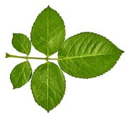 Zielone liścia krzaka róże odizolowywać na białym tle Zakończenie bell świątecznej element projektu Fotografia Stock