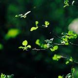 zielone liście świeże obraz royalty free