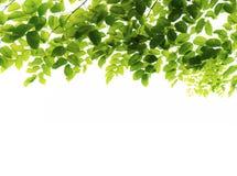zielone liście świeże obrazy stock