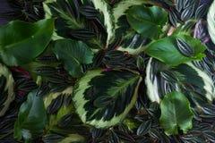 zielone liście świeże Zdjęcie Royalty Free