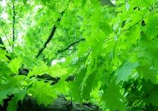 zielone liście obraz stock