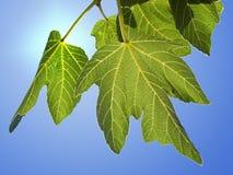 zielone liście figi zdjęcie royalty free