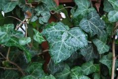 zielone liście mokre Obrazy Stock