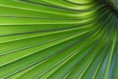 zielone liście palma Zdjęcie Stock
