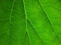 zielone liście szczegół Obraz Royalty Free