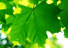 zielone liście tło Fotografia Stock