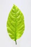 zielone liści,