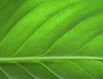zielone liści, Obraz Stock