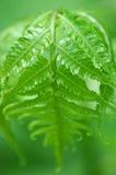zielone liści bardzo Fotografia Stock