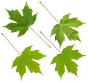 zielone liści klon Obrazy Royalty Free