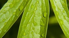 zielone liści krople wody. Obrazy Royalty Free